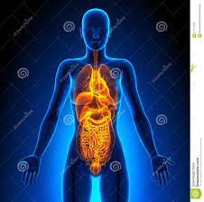 Human Anatomy Diagram Download Pictures Of The Human Anatomy Organs Female Human Anatomy Organs