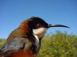 eastern spinebill birds in backyards