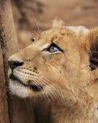 in photos a lion u0027s life lion image gallery african lions