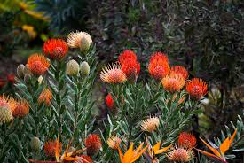 Protea Flower South Africa - protea south african national flower go4travel blog
