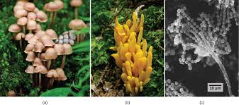 Types Of Garden Fungus - fungi concepts of biology