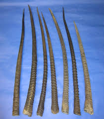 horns for sale gemsbok horns for sale wholesale 27 to 31 inches