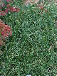 grass juncus spiralis green wire like foliage grows in a
