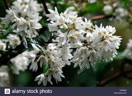 White Flowering Shrub - deutzia vilmorinae white flowers flowering shrubs bushes closeup