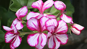 what are exles of ornamental plants reference