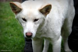 american eskimo dog melbourne this white dingo was in the alexandra gardens with it u0027s owner on