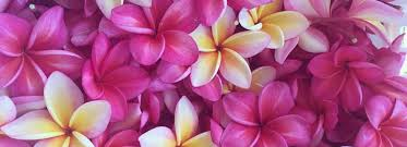plumeria flowers molokai plumerias molokai hawaii growing hawaii s favorite
