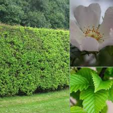 native uk plants native evergreen hedge mixed native evergreen hedges