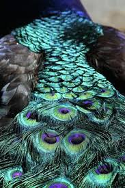 peacocks about peacock peacocks and picture video