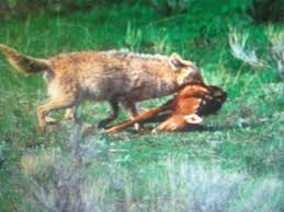 Can Coyotes See Red Light 486 Best For Hunting Images On Pinterest Hunting Stuff Deer