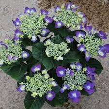 Purple Hydrangea Macrophylla Frisbee Purple