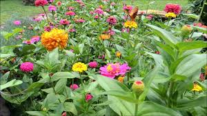 plant a cutting garden of zinnias for next year youtube