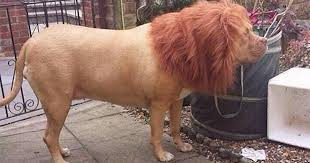 lion dogs see barking mad pictures of dog disguised as a lion complete with