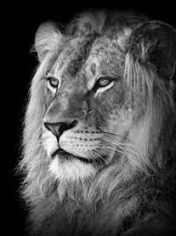 lion print lions artwork for sale posters and prints at art com