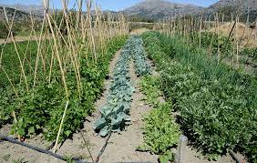how to use soaker hoses to install a drip irrigation system in