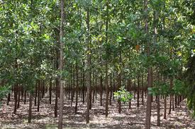 in defining plantations as forest fao attracts criticism