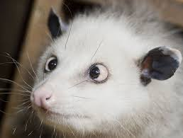 man tries to smoke out opossums burns down house instead wtsp com