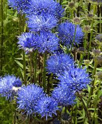 plante vivace soleil achetez maintenant une plante vivace jasione u0027blaulicht