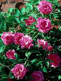 Fragrant Rose Plants - 546 best roses roses roses images on pinterest flowers plants