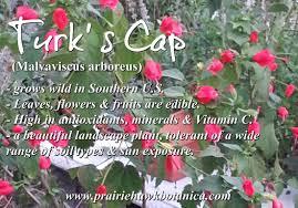 turks cap edible landscaping s cap prairie hawk botanica
