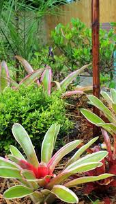Tropical Potted Plants Outdoor - 201 best bromeliards images on pinterest tropical gardens