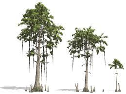 a cypress to impress
