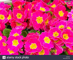 Pink Primrose Flower - close up of pink primrose bedding plants for sale in a garden