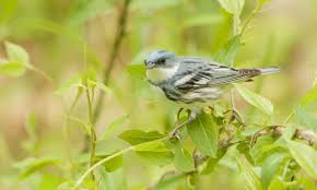 Canopy Birds cerulean warbler birds of north america online