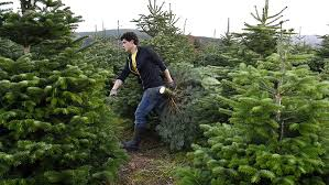 best dfw places to cut your christmas tree cbs dallas fort worth