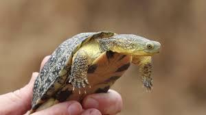 Ringed Map Turtle Identifying The Blanding U0027s Turtle In Michigan Youtube