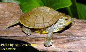 Texas Map Turtle Baby Northern Map Turtle