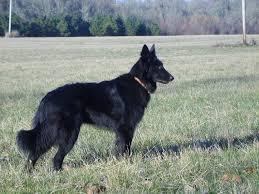 belgian sheepdog nationals obsidian belgian sheepdogs groenendaels for work and sport