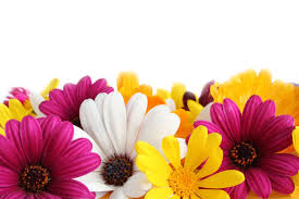 Flower Colour Symbolism - daisy flower meaning flower meaning