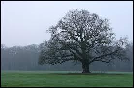 another majestic oak tree by jchanders on deviantart
