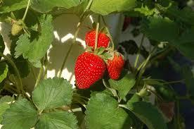 florida strawberries floridaculture