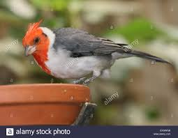 close up of the south american red crested cardinal paroaria