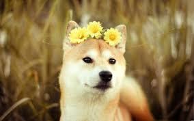 What Is Doge Meme - doge meme wallpaper on markinternational info