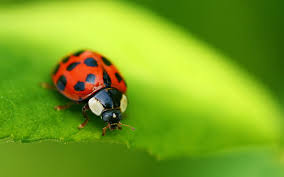 hd ladybug wallpaper wallpapersafari