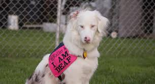 What Causes Dogs To Go Blind What Is A Double Merle U2013 Deaf Dogs Rock