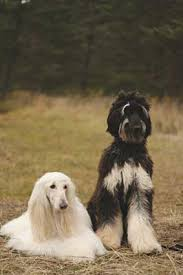 afghan hound weight the breed the afghan hound association