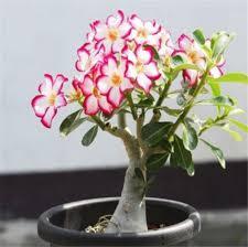 green plant flower garden adenium obesum 5 seeds bulk desert