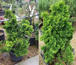 conifers for shade buy uk