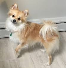 american eskimo dog vs pomeranian pomimo dog breed information and pictures