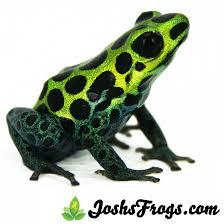 ranitomeya variabilis u0027highland u0027 zimmerman u0027s poison frog