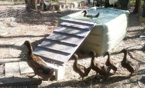 Backyard Duck Ponds My 6 Recommendations For Keeping Ducks In The Backyard