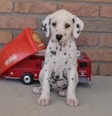 dalmatian puppies sale lancaster puppies