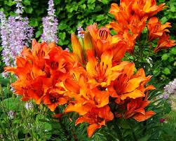 Lily Flower Garden - free photo flower garden fire lily orange max pixel
