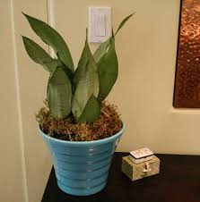 sansevieria a favorite houseplant for low light apartment therapy