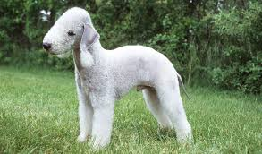 grooming a bedlington terrier puppy bedlington terrier breeders within the united states puppies for