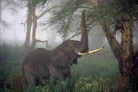 african elephant numbers plummet 30 percent great elephant census
